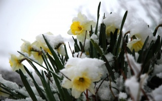 Daffodils in the snow wallpapers and stock photos