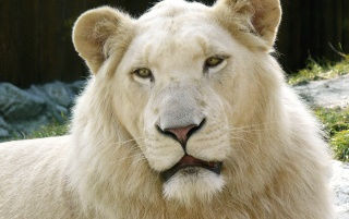 White lion portrait wallpapers and stock photos