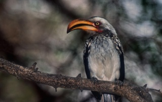 Proud hornbill wallpapers and stock photos