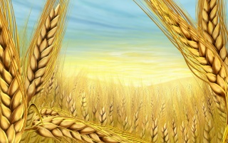 Wheat in summer wallpapers and stock photos