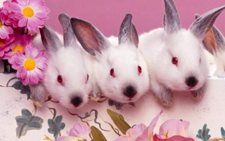 Easter bunnies wallpapers and stock photos