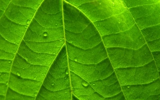 Green Vivid Leaf wallpapers and stock photos