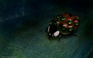 Previous: Dark Ladybug