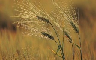 Wheat in wind wallpapers and stock photos
