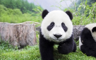 Panda Baby wallpapers and stock photos