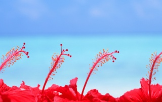 Maldives Hibiscus flowers wallpapers and stock photos