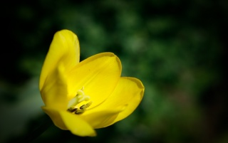 Previous: Yellow tulip