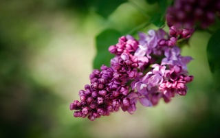 Beautiful lilac wallpapers and stock photos