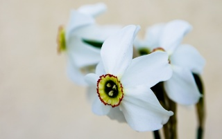 White daffodils wallpapers and stock photos