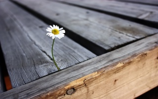 Daisy on a bridge wallpapers and stock photos