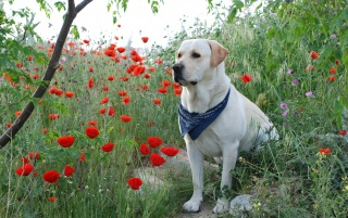 Labrador Gucci wallpapers and stock photos