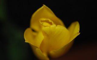 Yellow tulip wallpapers and stock photos