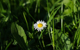 Daisy wallpapers and stock photos