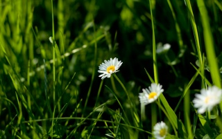 Daisy in the grass wallpapers and stock photos