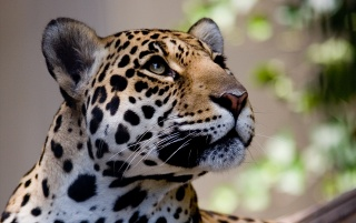 The leopard is curious wallpapers and stock photos