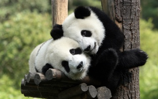 Pandas in Love wallpapers and stock photos
