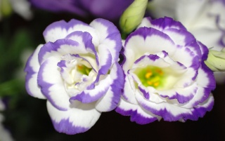 violet_flower_dance wallpapers and stock photos