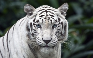 White tiger wallpapers and stock photos