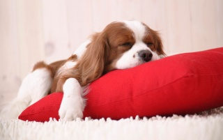 Sleepy puppy wallpapers and stock photos