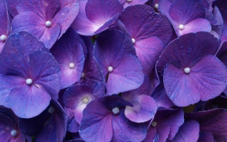 Hydrangea_Purple wallpapers and stock photos
