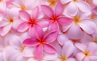 Tropical Plumeria wallpapers and stock photos
