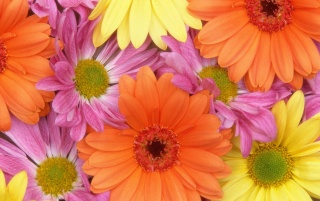 Coloured daisies wallpapers and stock photos