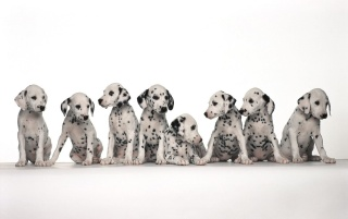Next: Dalmatian puppies