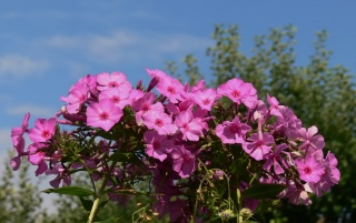 Phlox wallpapers and stock photos