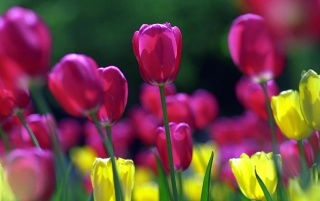 Spring tulips wallpapers and stock photos
