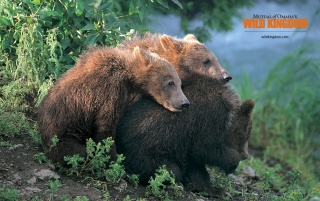 Brown Bears wallpapers and stock photos