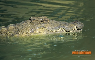 Alligators wallpapers and stock photos