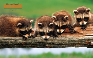 Racoons wallpapers and stock photos
