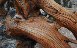 Bristlecone Pine wallpapers and stock photos