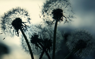 Dandelion Dand wallpapers and stock photos