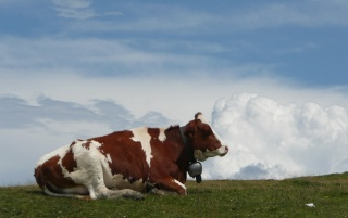 Cow on Monte Bale Italy wallpapers and stock photos