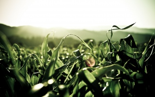 Corn Leaves wallpapers and stock photos