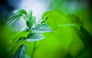 Mint Leaves wallpapers and stock photos