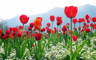 Tulip Plantation wallpapers and stock photos