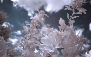 Infrared Flowers wallpapers and stock photos