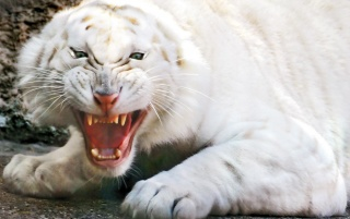 Angry White Tiger wallpapers and stock photos