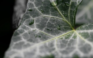 Ivy Leaf wallpapers and stock photos