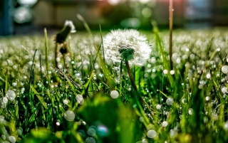 Previous: Dandelion