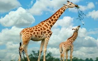 Previous: Giraffe Family