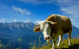 Cow wallpapers and stock photos
