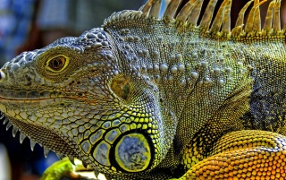 Iguana wallpapers and stock photos
