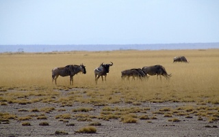 Gnus wallpapers and stock photos
