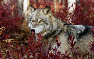 Wolf wallpapers and stock photos