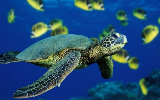Green sea turtle wallpapers and stock photos