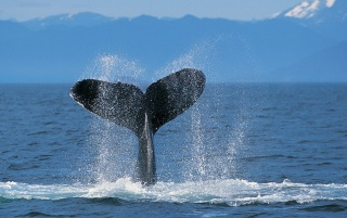 Humpback whale wallpapers and stock photos