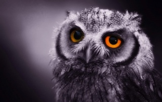 owl wallpapers and stock photos